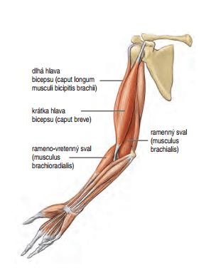 Cviky na biceps a zapojené svaly