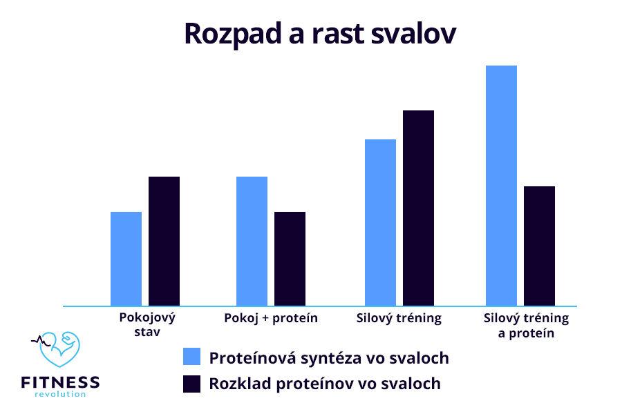 Proteínová syntéza pri rysovaní svalov